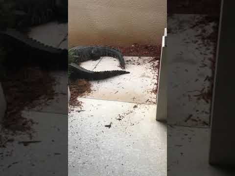 'They're Fighting Outside the Door': Alligators Go Snout-to-Snout in Front of Florida Home