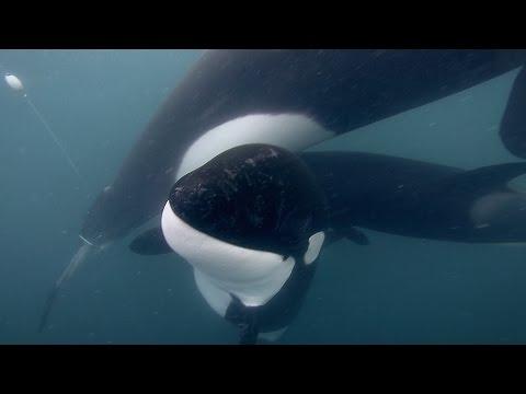 GoPro: Orca Rescue in 4K