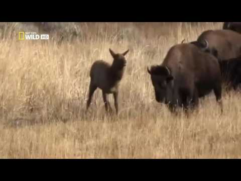Bison kill an Elk to help a wolf to eat