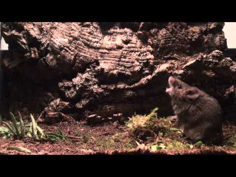 Male Alston's singing mouse (S. teguina) sings in response to female odor