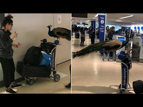 Emotional Support Peacock Denied Seat on Plane