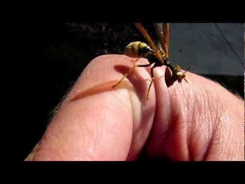 Mantidfly - Looks like Praying Mantis and Wasp