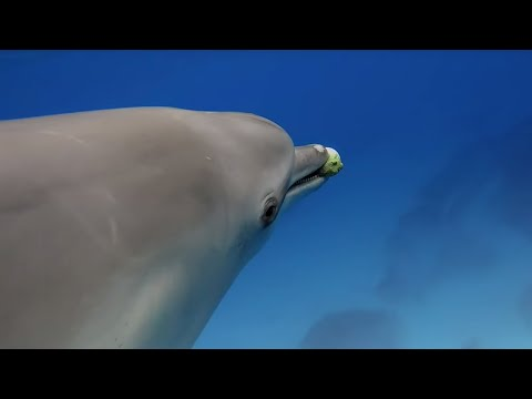 Dolphins Play Catch with a Pufferfish! | Spy In The Wild | BBC Earth
