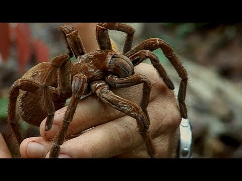 Holding a Wild Goliath Tarantula | Deadly 60 | Earth Unplugged