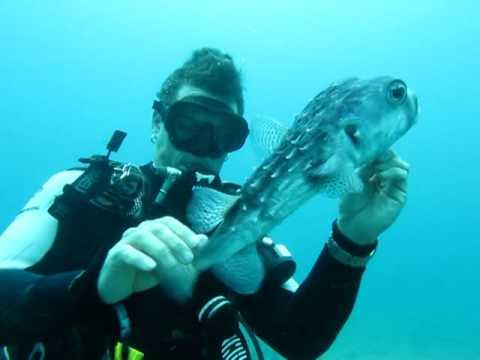 Diver Saves Puffer Fish (Saving Puff Daddy)