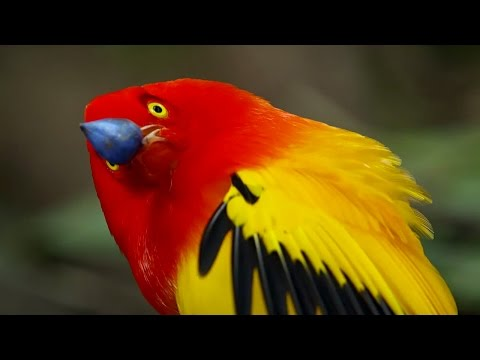 The Bowerbird's Grand Performance! | Life Story | BBC Earth