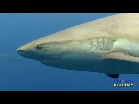 Caribbean Reef Sharks   SHARK ACADEMY
