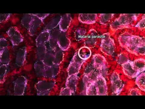 Malaria Lifecycle Part 1: Human Host (2016)