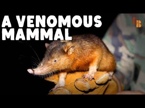 How The Solenodon Became Venomous