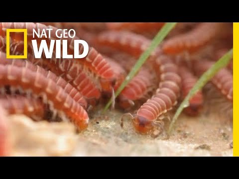 Watch Swarms of Millipedes Join Ranks to Survive | Nat Geo Wild