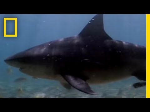 Bull Sharks Upriver | National Geographic