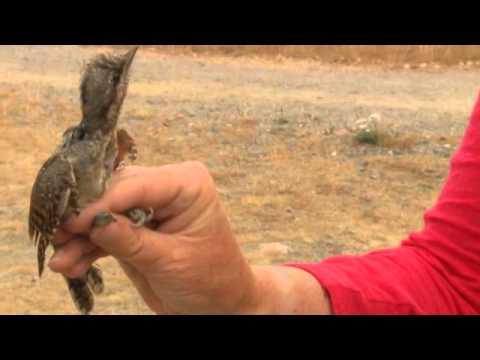 Wryneck - imiiating a snake