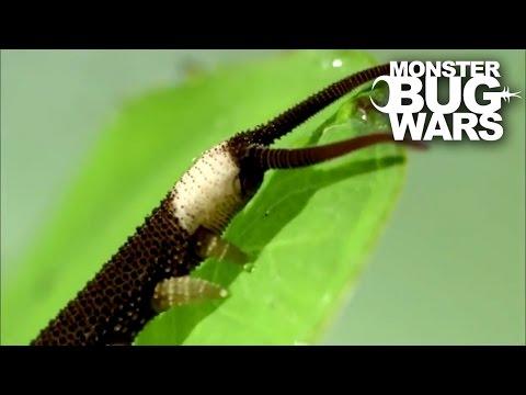 Harvestman vs Velvet Worm | MONSTER BUG WARS