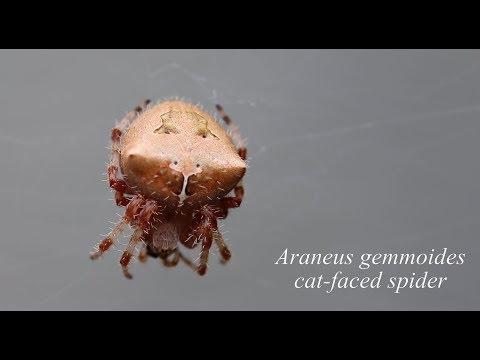 Araneus gemmoides (cat-faced/jewel spider)