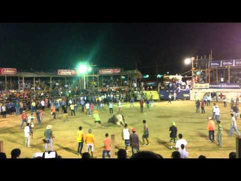 Costa Rican bullfighting - the bull always wins!