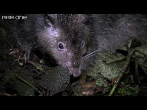 Giant Rat discovered - Lost Land of the Volcano - BBC One