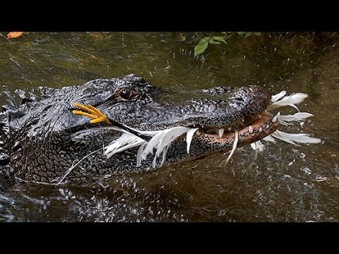 ALLIGATORS USE TOOLS TO HUNT BIRDS