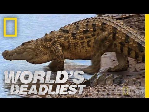 Croc Attack! | World's Deadliest