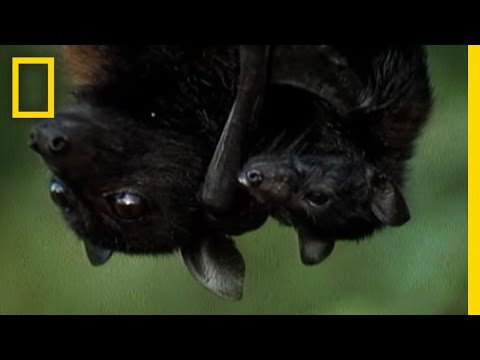 Meet the World's Biggest Bat | National Geographic