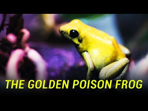 The Most Poisonous Frog in the World