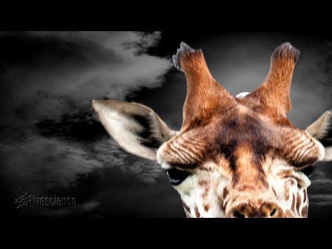 Giraffes Hum At Night - Who Knew?