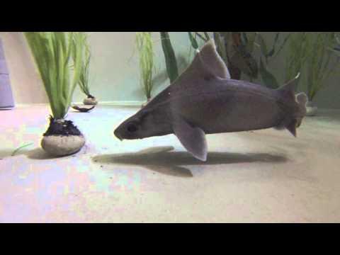 Angular roughshark (Oxynotus centrina) preying on a ray egg in aquarium