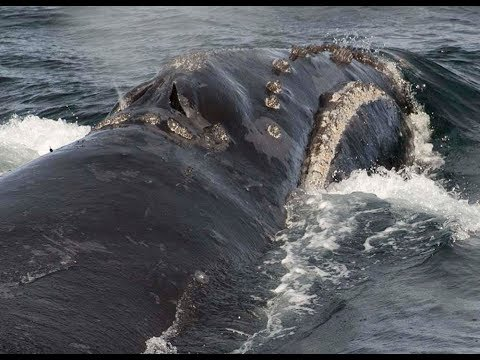 Rare whale's singing recorded