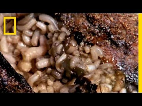 Maggot Medicine | National Geographic