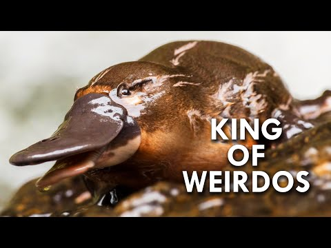 Platypus: The King of Weirdos