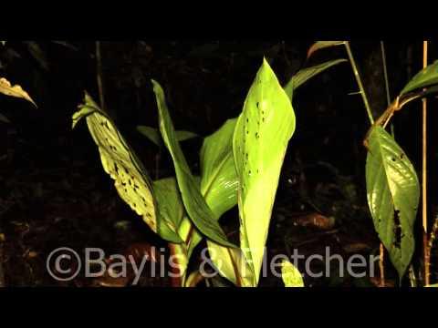 Hardwicke's Woolly Bat sequence: clip 4, Mulu NP, Malaysia. 20140320_202251.m2ts