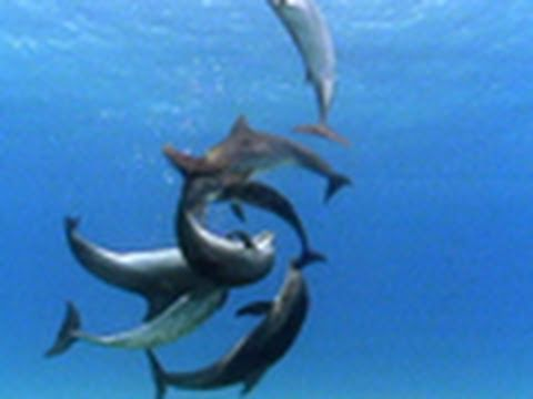 Bottlenose Dolphin Gang Rumble | National Geographic