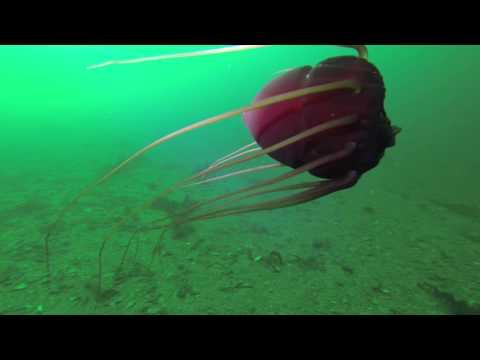 Periphylla Periphylla (Helmet Jellyfish)