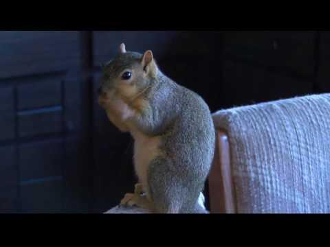 Idaho Squirrel attacks burglar