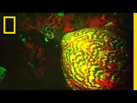 """EXCLUSIVE: """"Glowing"""" Sea Turtle Discovered 