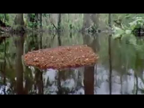 Ants Create a Lifeboat in the Amazon Jungle | BBC Studios