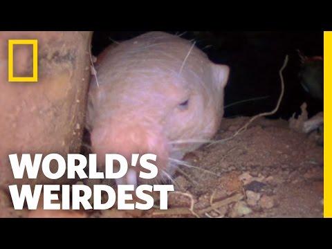 Naked Mole Rats | World's Weirdest