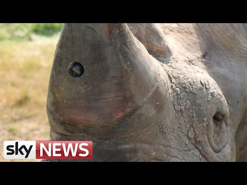 Cameras Planted In Rhino Horns To Stop Poaching