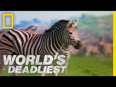 Zebra vs. Zebra | World's Deadliest