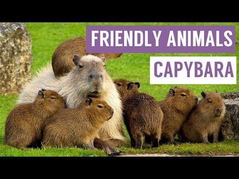 CAPYBARA are the FRIENDLIEST Animal Compilation!
