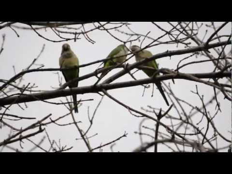 Chicago's Wild Quaker Parrots Part 3