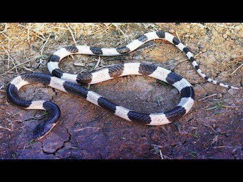 "The Blue Krait ""Malayan Krait"" Snake Bite Venom (Bungarus Candidus)"