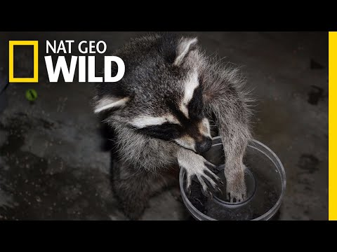 See Raccoons Pass Famous Intelligence Test | Nat Geo Wild
