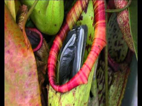 Bird eaten by plant