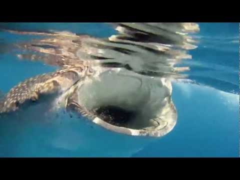 Whale Sharks, Isla Mujeres 2011 with Eli Martinez