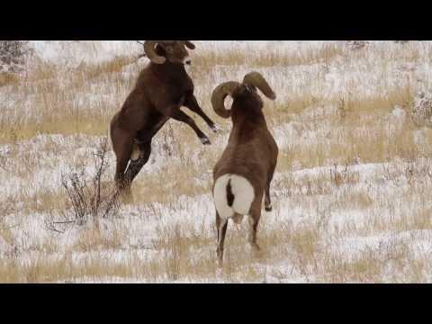6 BIGHORN SHEEP RAMS HEADBUTTING in the RUT HD - Wildlife Photography/Colorado/Tetons/Jackson Hole