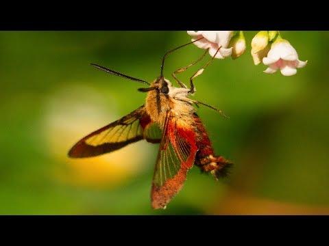Hummingbird Moth Natures Incredible Mimic!
