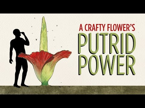 The Stink Of The Corpse Flower, Explained | NPR's SKUNK BEAR