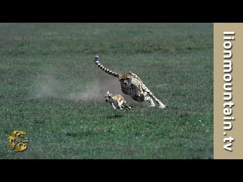 Cheetah high speed Gazelle hunt | CLASSIC WILDLIFE