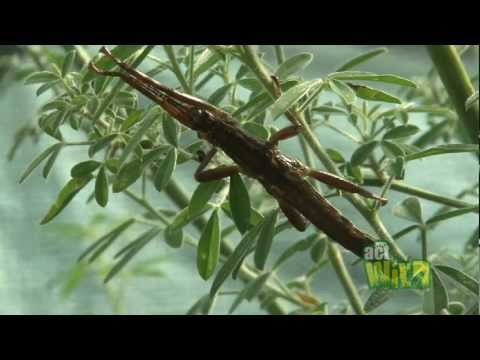 Act Wild for Lord Howe Island Stick Insects