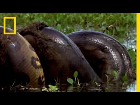 Anaconda vs. Mammal | National Geographic